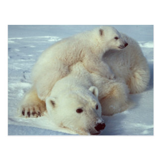 Famille blanche d'ours blanc carte postale