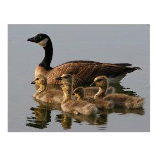 Famille de canard sauvage carte postale