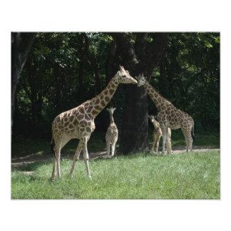 Famille de girafe photographie d'art