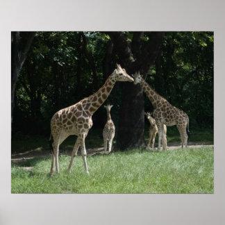 Famille de girafe posters