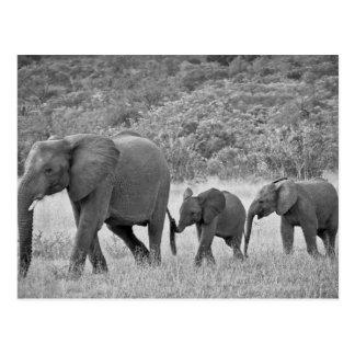 Famille des éléphants sud-africains carte postale