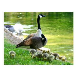 Famille d'oie du Canada Carte Postale