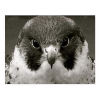 Faucon de Pelegrine en noir et blanc Cartes Postales