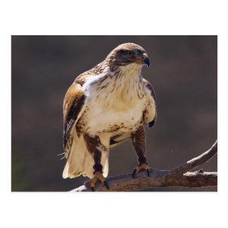 faucon ferrugineux carte postale