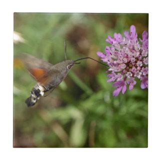 Faucon-mite de colibri (stellatarum de carreau