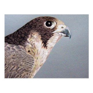 Faucon pérégrin carte postale