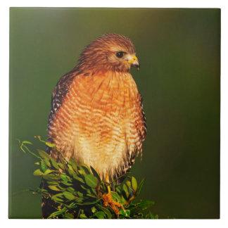 faucon Rouge-épaulé (lineatus de Buteo) dedans tôt Carreau