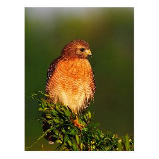 faucon Rouge-épaulé (lineatus de Buteo) dedans tôt Carte Postale