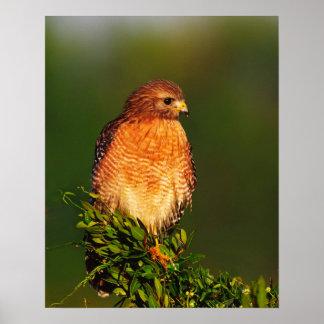 faucon Rouge-épaulé (lineatus de Buteo) dedans tôt Posters