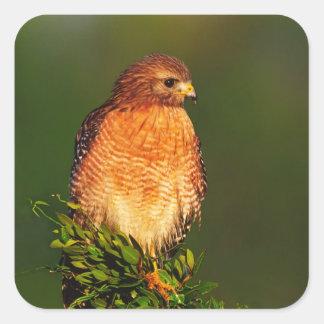 faucon Rouge-épaulé (lineatus de Buteo) dedans tôt Sticker Carré