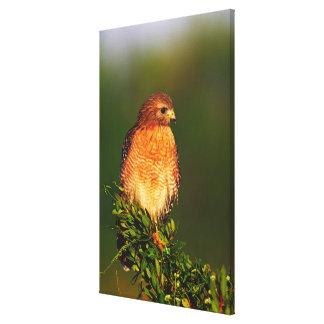 faucon Rouge-épaulé (lineatus de Buteo) dedans tôt Impressions Sur Toile
