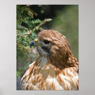 faucon Rouge-épaulé