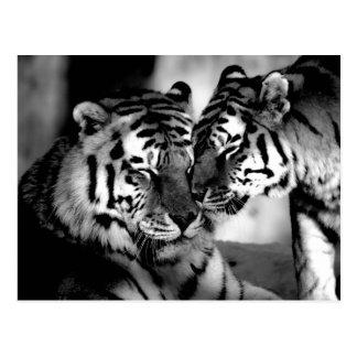 Faune, tigre extraordinaire carte postale