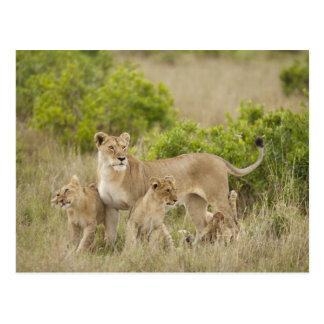 Femelle adulte de lion africain avec des petits carte postale