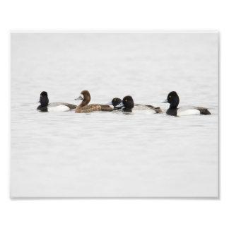 Femelle dépassée en nombre peu de copie de canard impressions photographiques