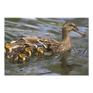 Femelle et chicksAnas de canard de Mallard Photographies