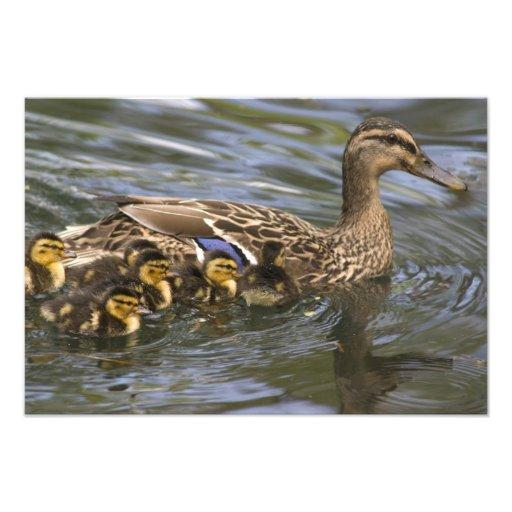 Femelle et chicksAnas de canard de Mallard Impression Photo