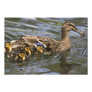 Femelle et chicksAnas de canard de Mallard Tirage Photo