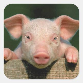Ferme de porc - visage de porc sticker carré
