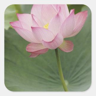 Fermez-vous de la fleur de Lotus, du nucifera de Sticker Carré