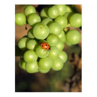 Fermez-vous de l'insecte de dame sur les raisins carte postale