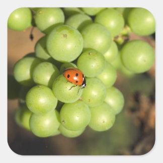 Fermez-vous de l'insecte de dame sur les raisins sticker carré