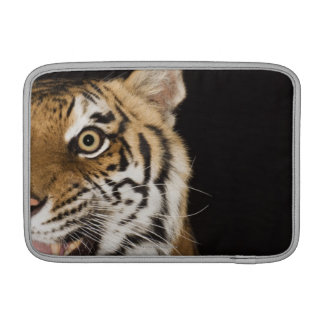 Fermez-vous du visage du tigre d'hurlement poche macbook air