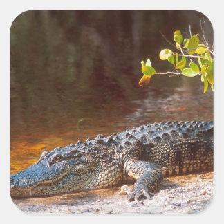 Fermez-vous d'un alligator américain au J.N. Sticker Carré