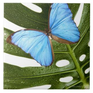 Fermez-vous d'un papillon bleu de Morpho sur une Grand Carreau Carré