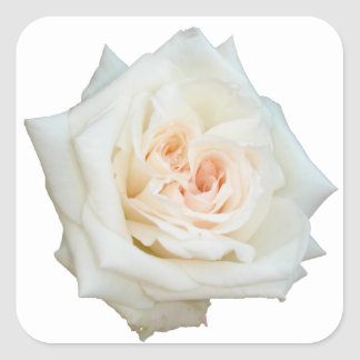 Fermez-vous vers le haut de la vue d'un beau rose sticker carré