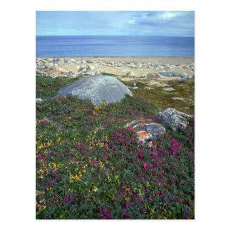 Fireweed nain, baie de Hudson, NWT, Canada Carte Postale