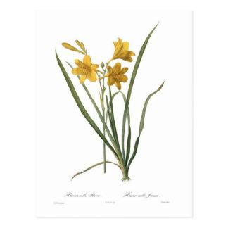 Flava de Hemerocallis Cartes Postales