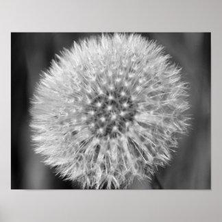 Fleur blanche pelucheuse de pissenlit en noir et b posters