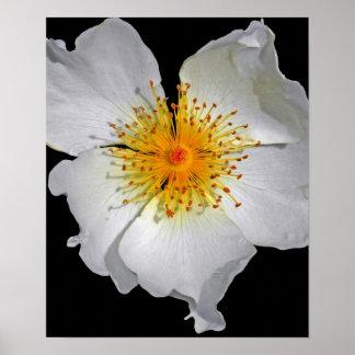 Fleur blanche sensible de rayonnement poster