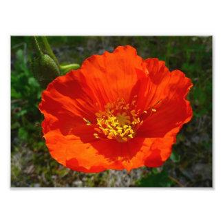 Fleur colorée de pavot rouge d'Alaska Impression Photo