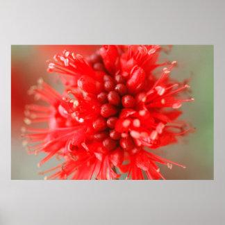 Fleur de Boerbean nain, sables de Sabi Posters
