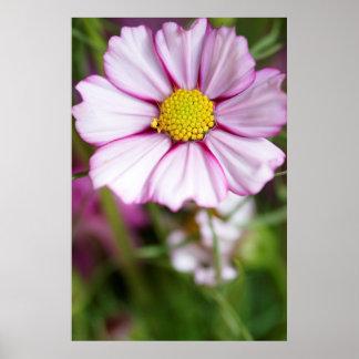 Fleur de cosmos (bidens Formose) Poster