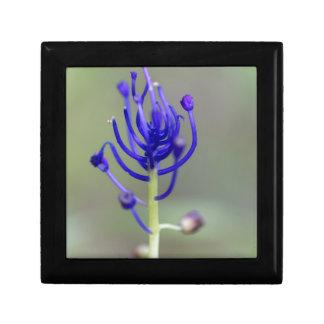 Fleur de jacinthe de gland (comosum de Muscari) Boîte À Souvenirs