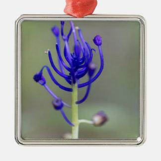 Fleur de jacinthe de gland (comosum de Muscari) Ornement Carré Argenté