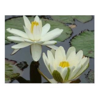 Fleur de Lotus blanc