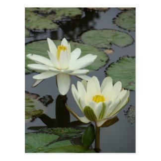 Fleur de Lotus blanc Cartes Postales