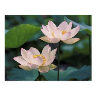 Fleur de Lotus dans la fleur, Chine Carte Postale