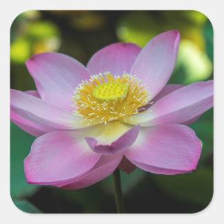 Fleur de lotus de floraison, Indonésie Sticker Carré