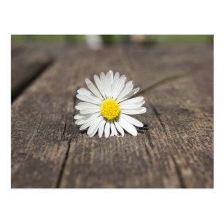Fleur de marguerite blanche cartes postales