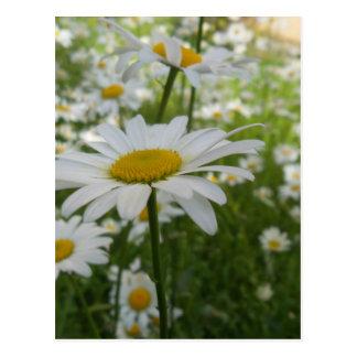 Fleur de marguerite blanche carte postale