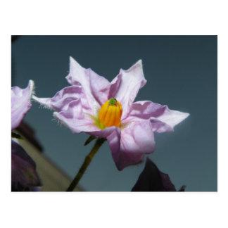 Fleur de pomme de terre carte postale