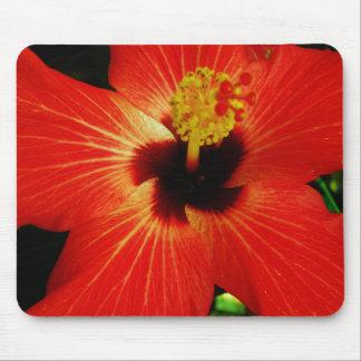 Fleur orange rouge lumineuse de ketmie