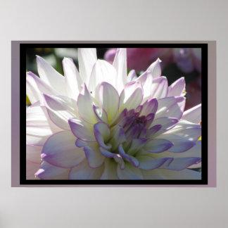 Fleur Pourpre-Blanche de dahlia Posters