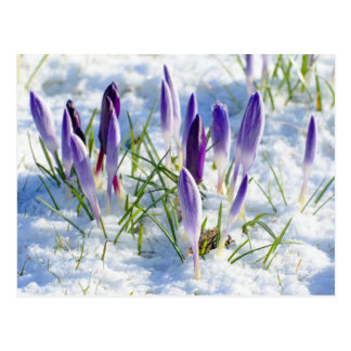 Fleur pourpre de crocus de carte dans la neige
