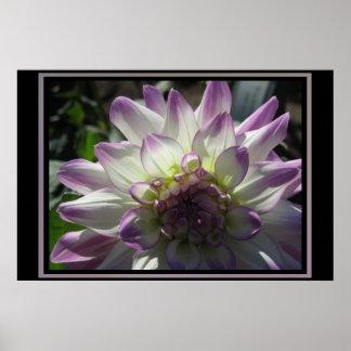 Fleur pourpre de dahlia affiche